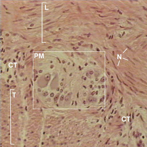 VMS - Histology Atlas - Smooth Muscle