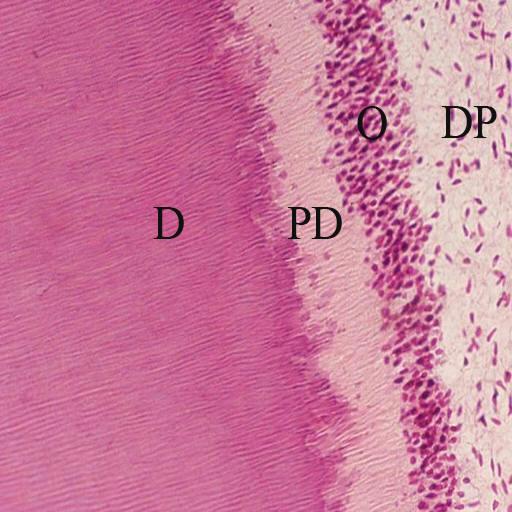 Vms Histology Atlas - Digestive Tract